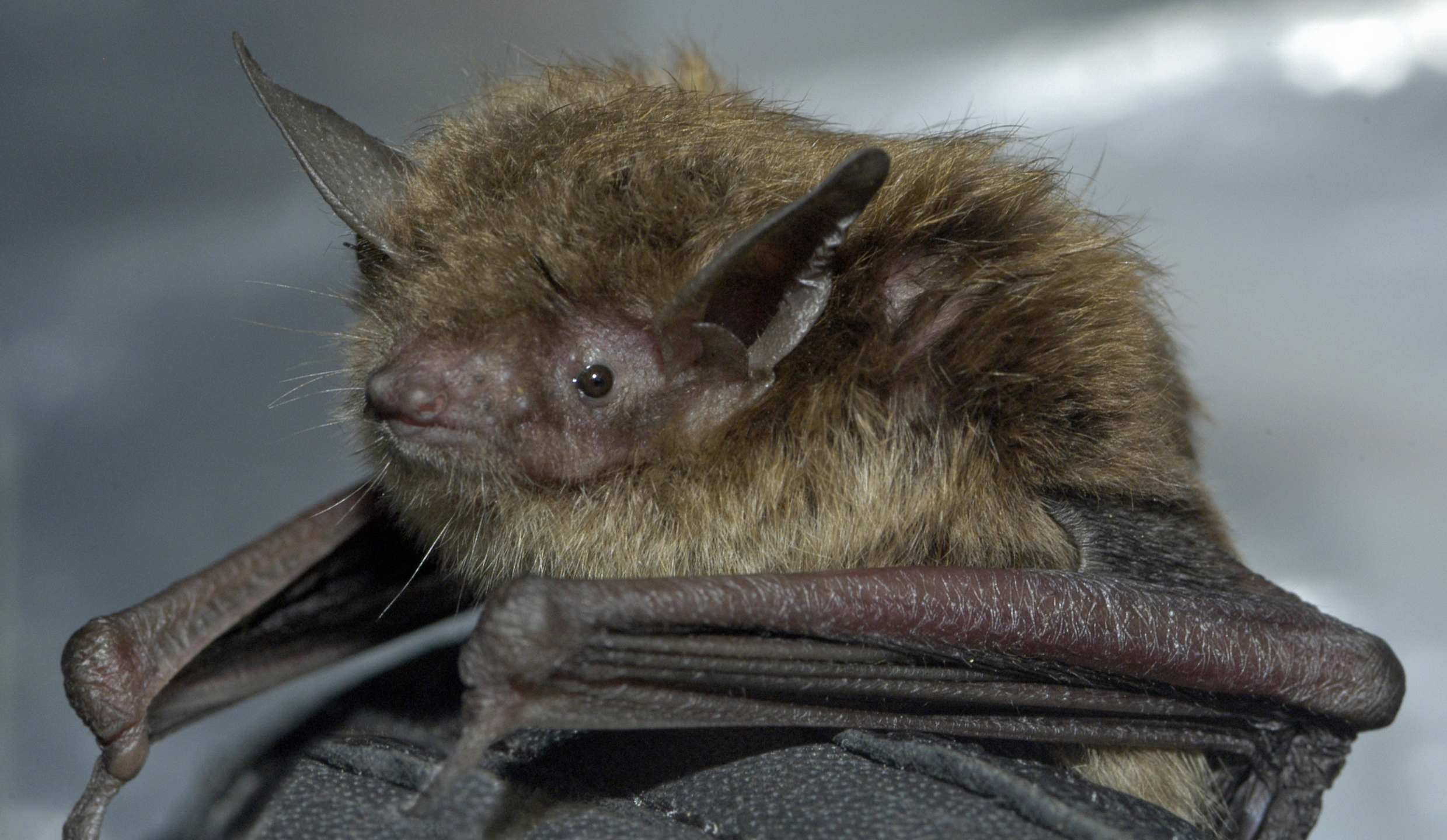 little brown bat_Josh Young_Touchstone Energy_1471401550170.jpg