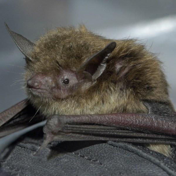 little brown bat_Josh Young_Touchstone Energy_1471401550170.jpg