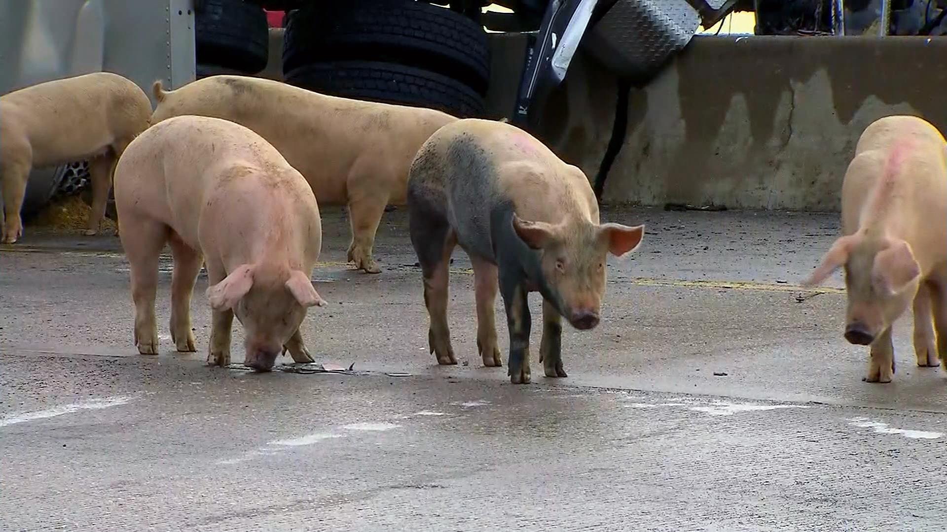 Pigs on Dallas Interstate-159532.jpg72906161