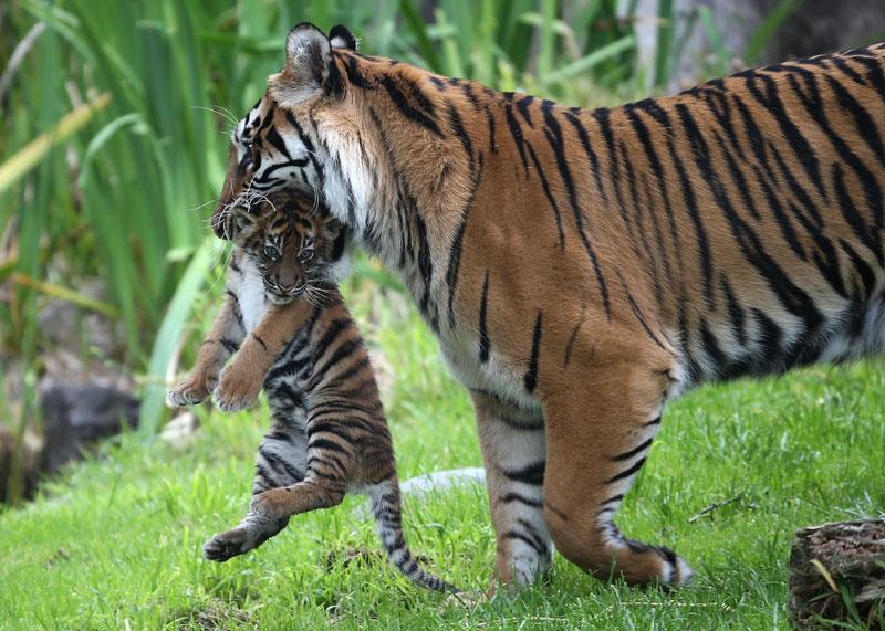 tiger and cub at zoo87285011-159532