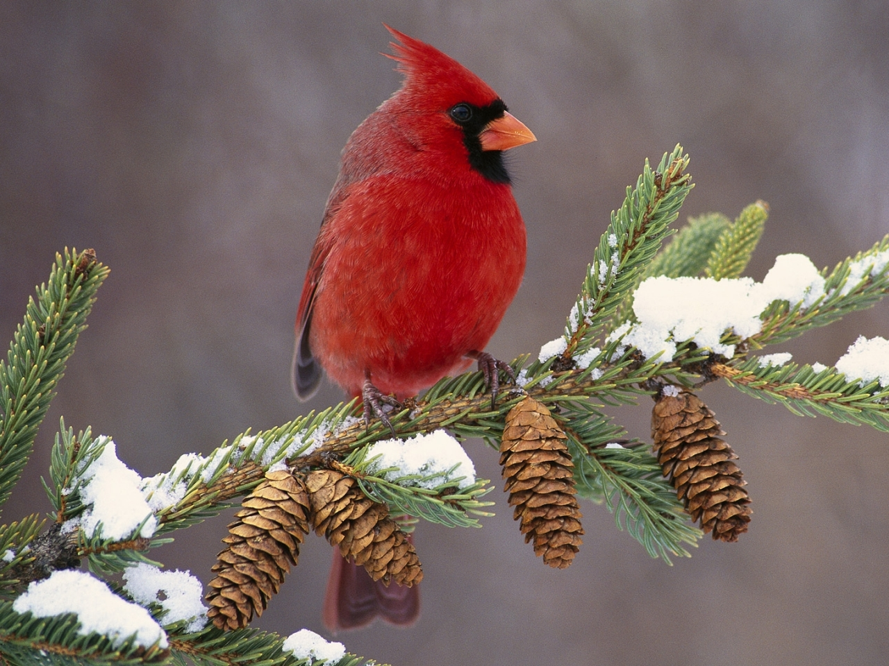 cardinal_bird_color_branch_snow_29579_1280x960_1503178031251.jpg