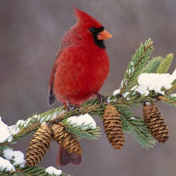 cardinal_bird_color_branch_snow_29579_1280x960_1503178031251.jpg