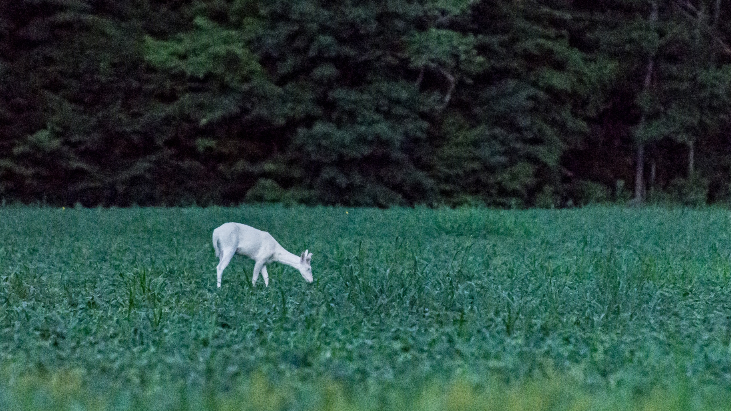 Albino Deer (1)_1529949021894.jpg.jpg
