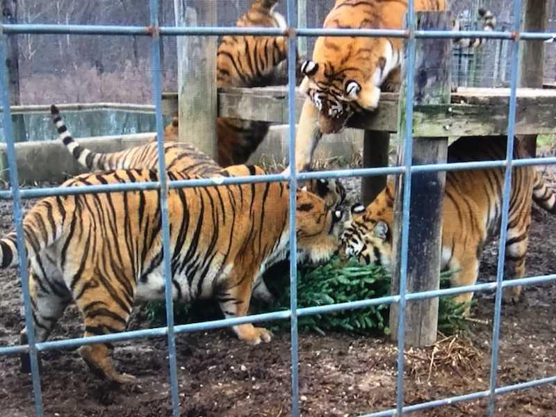 tigers_1546465071615.jpg