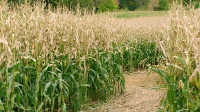 Corn-field-jpg_20151110182327-159532