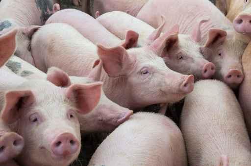 Livestock breeding. The farm pigs._1560191989820